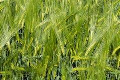 Spighette di giovane primo piano del grano Orecchie di grano non maturo verde Immagini Stock Libere da Diritti