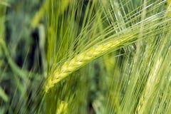 Spighette di giovane primo piano del grano Orecchie di grano non maturo verde Fotografia Stock