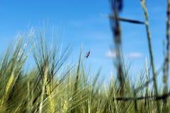 Spighette di giovane primo piano del grano Orecchie di grano non maturo verde Immagini Stock