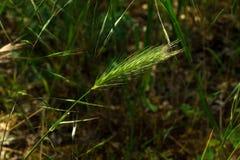Spighette di giovane primo piano del grano Orecchie di grano non maturo verde Immagine Stock Libera da Diritti