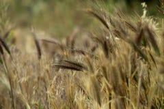 Spighette di giovane primo piano del grano Orecchie di grano non maturo verde Fotografie Stock