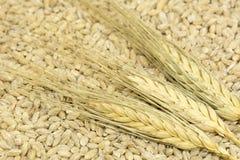 3 spighette di grano che si trovano nel grano si avvantaggia, fibra, grano, Fotografia Stock Libera da Diritti