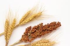 Spighette di grano e del ramoscello gialli di sorgo Immagini Stock