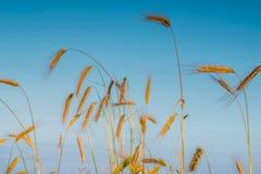 Spighette di grano e di alba nel campo Immagini Stock