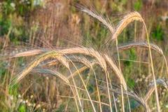 Spighette di grano e di alba nel campo Immagini Stock Libere da Diritti