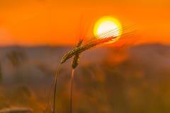 Spighette di grano e di alba nel campo Fotografia Stock