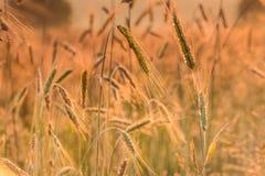 Spighette di grano e di alba nel campo Fotografia Stock Libera da Diritti