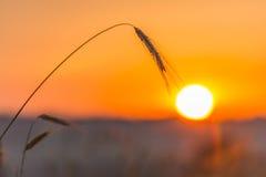 Spighette di grano e di alba nel campo Fotografie Stock Libere da Diritti
