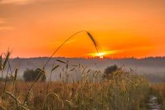 Spighette di grano e di alba nel campo Fotografie Stock