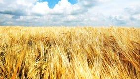 Spighette di grano maturo giallo sul campo dorato durante il giorno Punte di segale organica che ondeggiano in vento archivi video