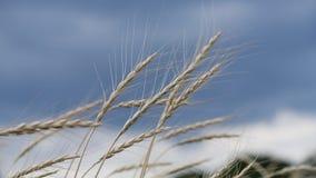 Spighette di grano nel vento sul cielo tempestoso archivi video