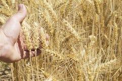 Spighette di grano nella mano Fotografia Stock