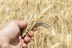 Spighette di grano nella mano dell'agricoltore Immagini Stock