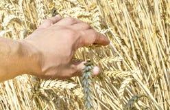 Spighette di grano nella mano dell'agricoltore Immagine Stock Libera da Diritti
