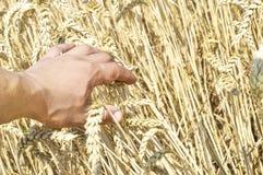 Spighette di grano nella mano dell'agricoltore Fotografie Stock Libere da Diritti