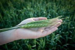 Spighette di grano su una mano Fotografie Stock