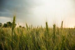 Spighette di grano in un campo con grano, contro un fondo di grigio, blu, nuvole di tempesta, estate Fotografia Stock Libera da Diritti