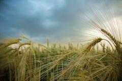 Spighette di grano in un campo con grano, contro un fondo di grigio, blu, nuvole di tempesta, estate Immagine Stock