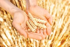 Spighette e grano di grano maturo in primo piano Immagine Stock
