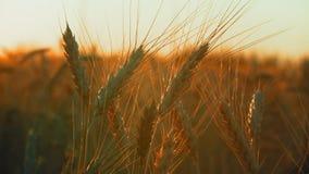 Spighette estreme del primo piano di grano che ondeggiano nel vento alla luce di Dawn Sun video d archivio