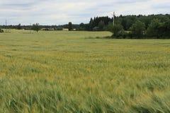 Spighette verdi del campo di grano fotografia stock libera da diritti