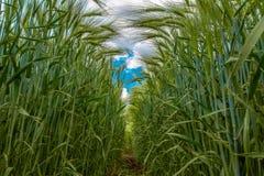 Spighette verdi di grano contro il cielo blu e le nuvole grige immagini stock libere da diritti
