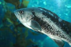 Spigola del Mar Nero Immagini Stock Libere da Diritti