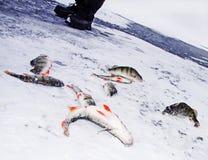 Spigola di pesca attraverso ghiaccio Fotografie Stock