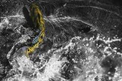 Spigola esotica del pavone Fotografie Stock Libere da Diritti