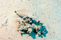 Spigola macchiata sul corallo Fotografie Stock