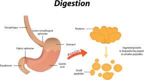 Spijsvertering van Proteïnen Stock Afbeeldingen