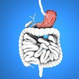Spijsverteringskanaal, maag en zweren, Stock Afbeeldingen
