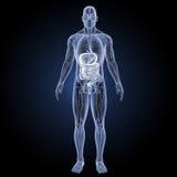Spijsverteringssysteem met anatomie voorafgaande mening vector illustratie