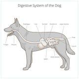 Spijsverteringssysteem van de hond vectorillustratie Royalty-vrije Stock Foto's