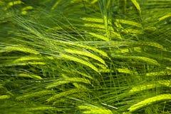 Spika del maíz Imagen de archivo libre de regalías