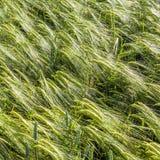 Spika del maíz Foto de archivo libre de regalías