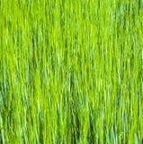 Spika del maíz Foto de archivo