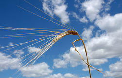 Spike. Of barley royalty free stock photography