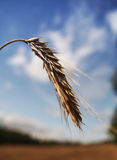 Spike. Of rye in summer afternoon Stock Photography