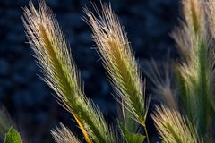 Spike, Awns, Grass, Grain, Cereals Stock Images