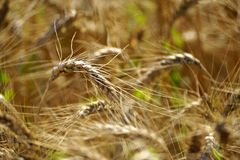 A spike of barley crops growing in the field. royalty free stock image