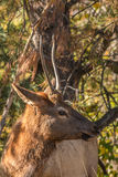 Spike Bull Elk Close Up Stock Photography