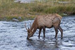 Spike Bull Elk Drinking Royalty-vrije Stock Foto