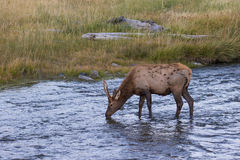 Spike Bull Elk in Stream. A spike  bull elk drinking in a stream during the rut Royalty Free Stock Photos