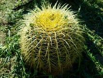 Spike Cactus amarillo verde 4k Imagen de archivo libre de regalías