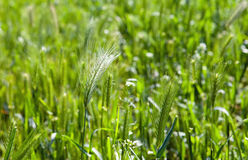 Spike closeup on background of green grass. Close up in a sunny day Royalty Free Stock Images