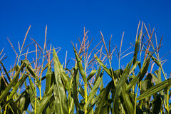 Spike of corn and blue sky Stock Photography