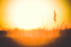 Spike dry grass close up on blurred background sunset Royalty Free Stock Image
