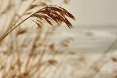 Spike of dry plants with a beach covered with ice. Spike of dry plants with a beach covered with ice on a blurred background. Copy space Royalty Free Stock Photo