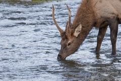 Spike Elk Drinking Royalty Free Stock Photo